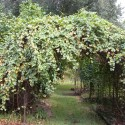 luckily grape , 6 Awesome Grape Arbors In Others Category