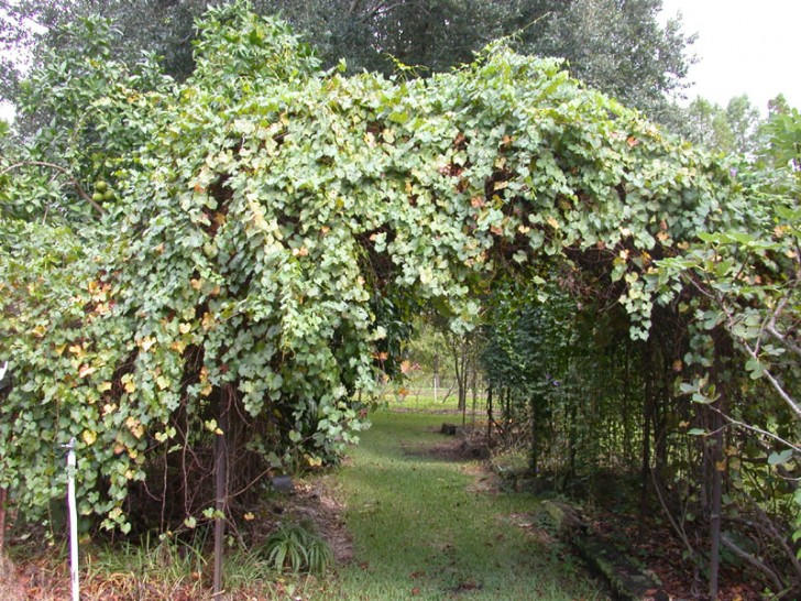 Others , 6 Awesome Grape Arbors : luckily grape